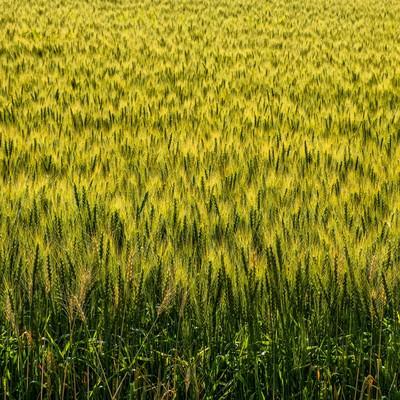 「一面の麦畑」の写真素材