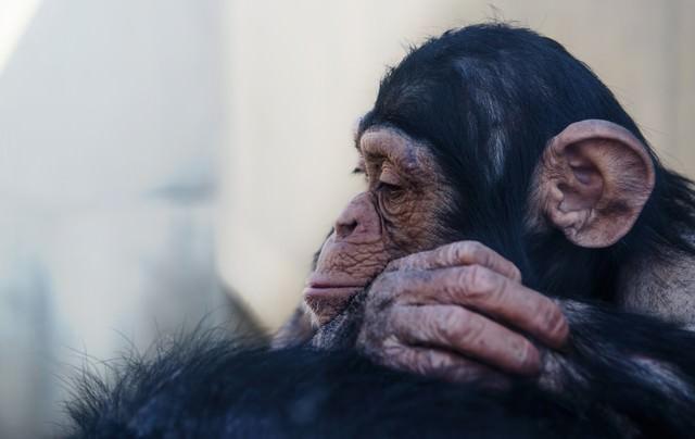 落胆する表情のチンパンジーの写真