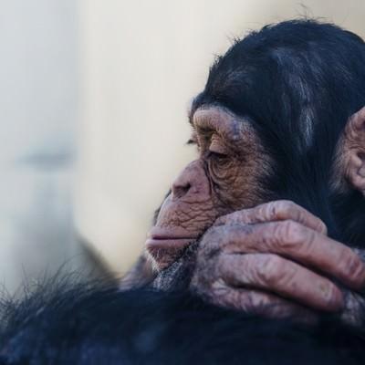 「落胆する表情のチンパンジー」の写真素材