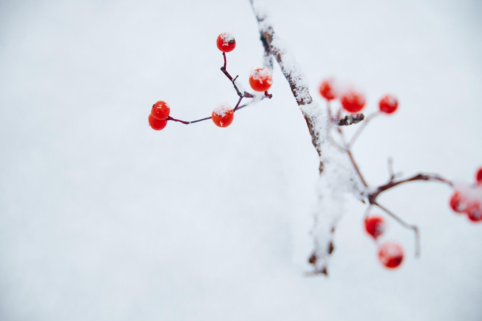 「雪とナナカマド」の写真
