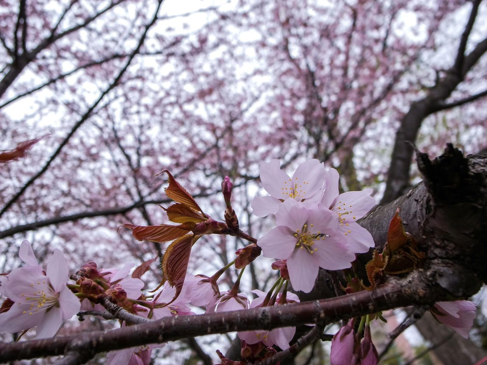 「遅咲きの桜(北海道)」の写真