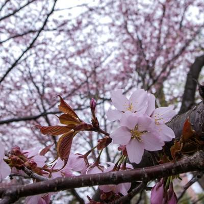「遅咲きの桜(北海道)」の写真素材