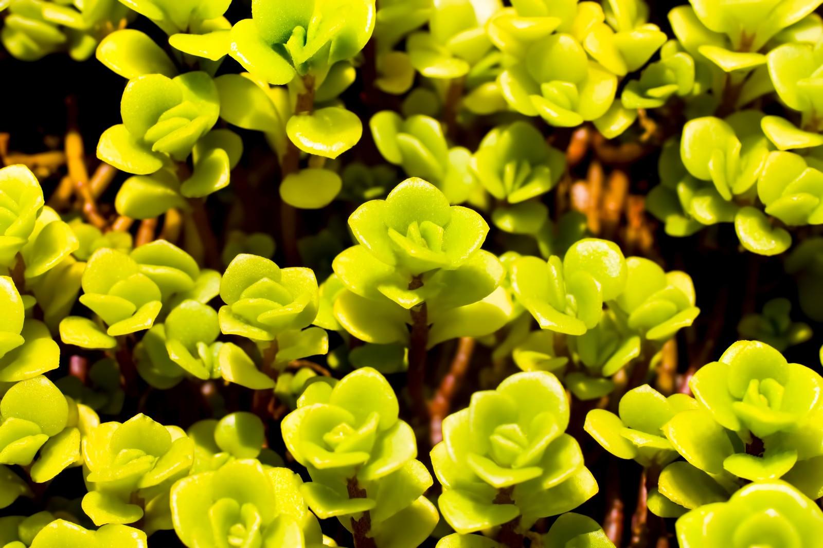 ライムグリーンの多肉植物