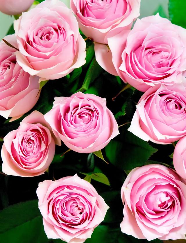 重なり合うピンクの薔薇の写真