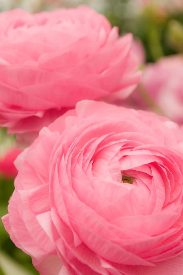 ピンクのラナンキュラスの写真