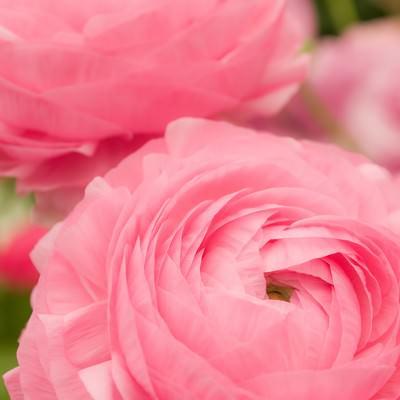 「ピンクのラナンキュラス」の写真素材