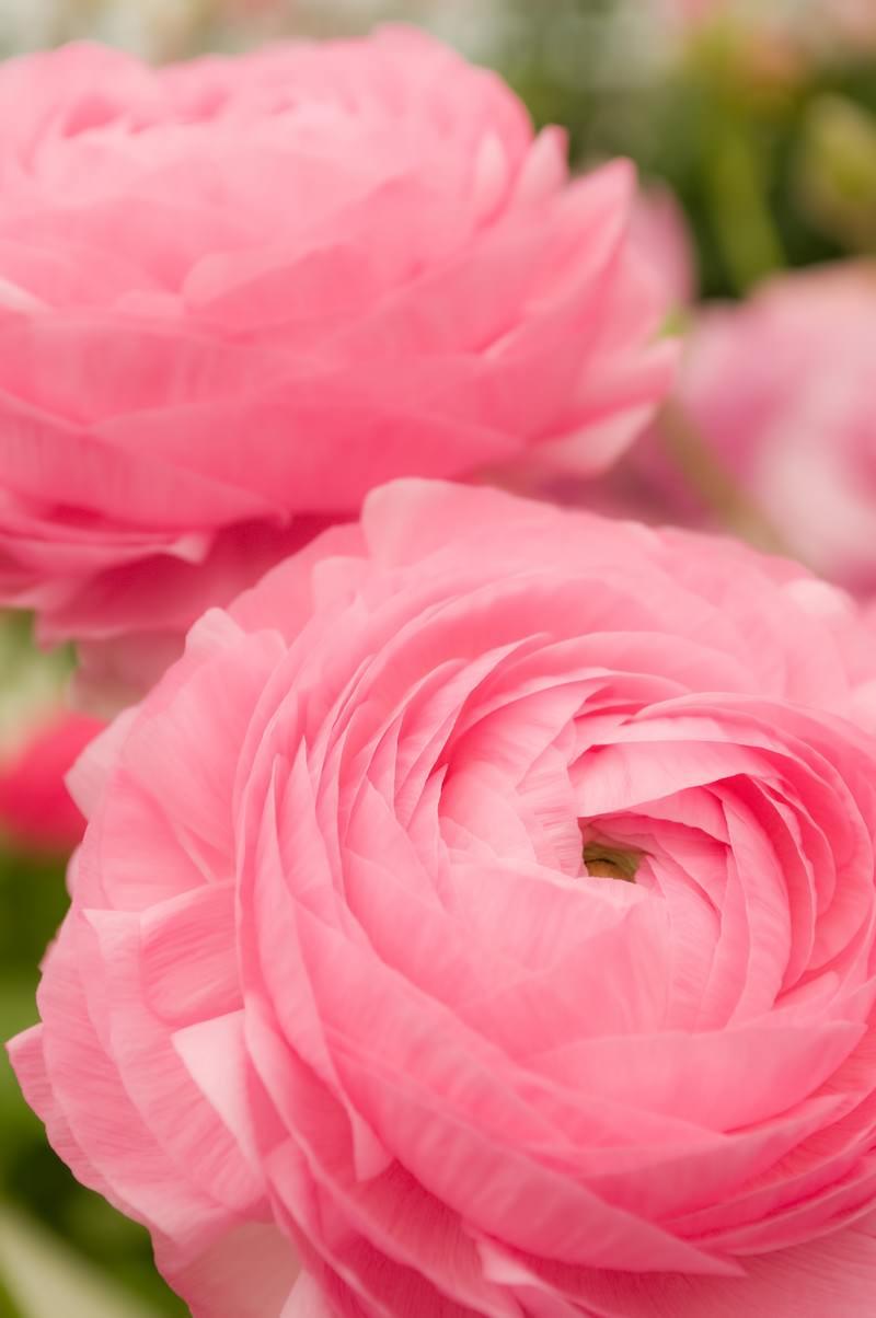 「ピンクのラナンキュラス | 写真の無料素材・フリー素材 - ぱくたそ」の写真