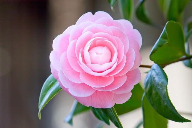 凛としてひっそりと咲く椿の花の写真