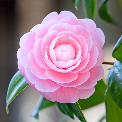 「凛としてひっそりと咲く椿の花」の写真素材