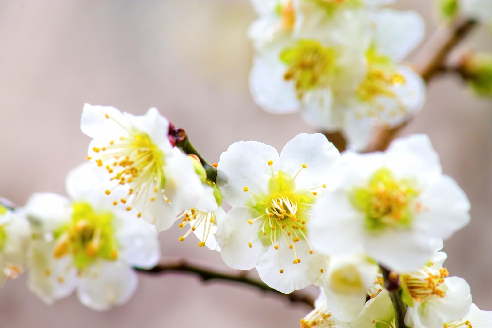 「白い梅の花のアップ」の写真