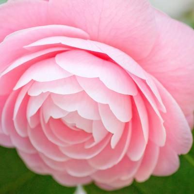 「美しい花弁の椿」の写真素材