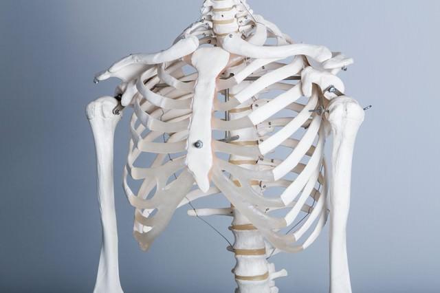 猫背が気になる(人体骨格模型)の写真