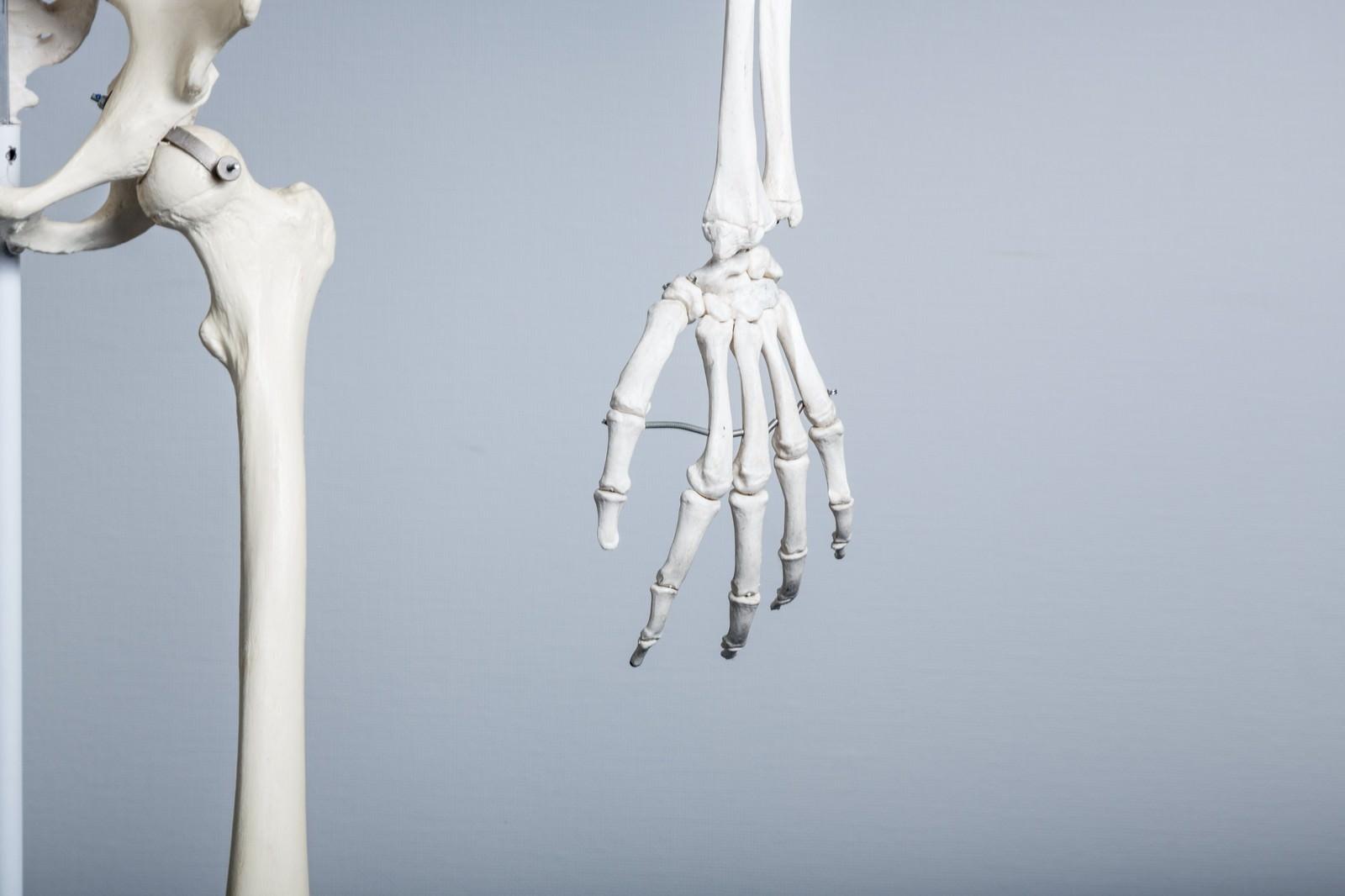 「人体骨格模型(左手)」の写真