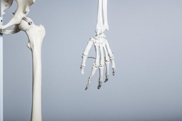 人体骨格模型(左手)の写真