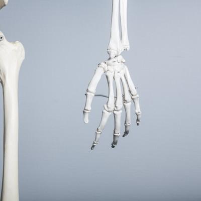 「人体骨格模型(左手)」の写真素材