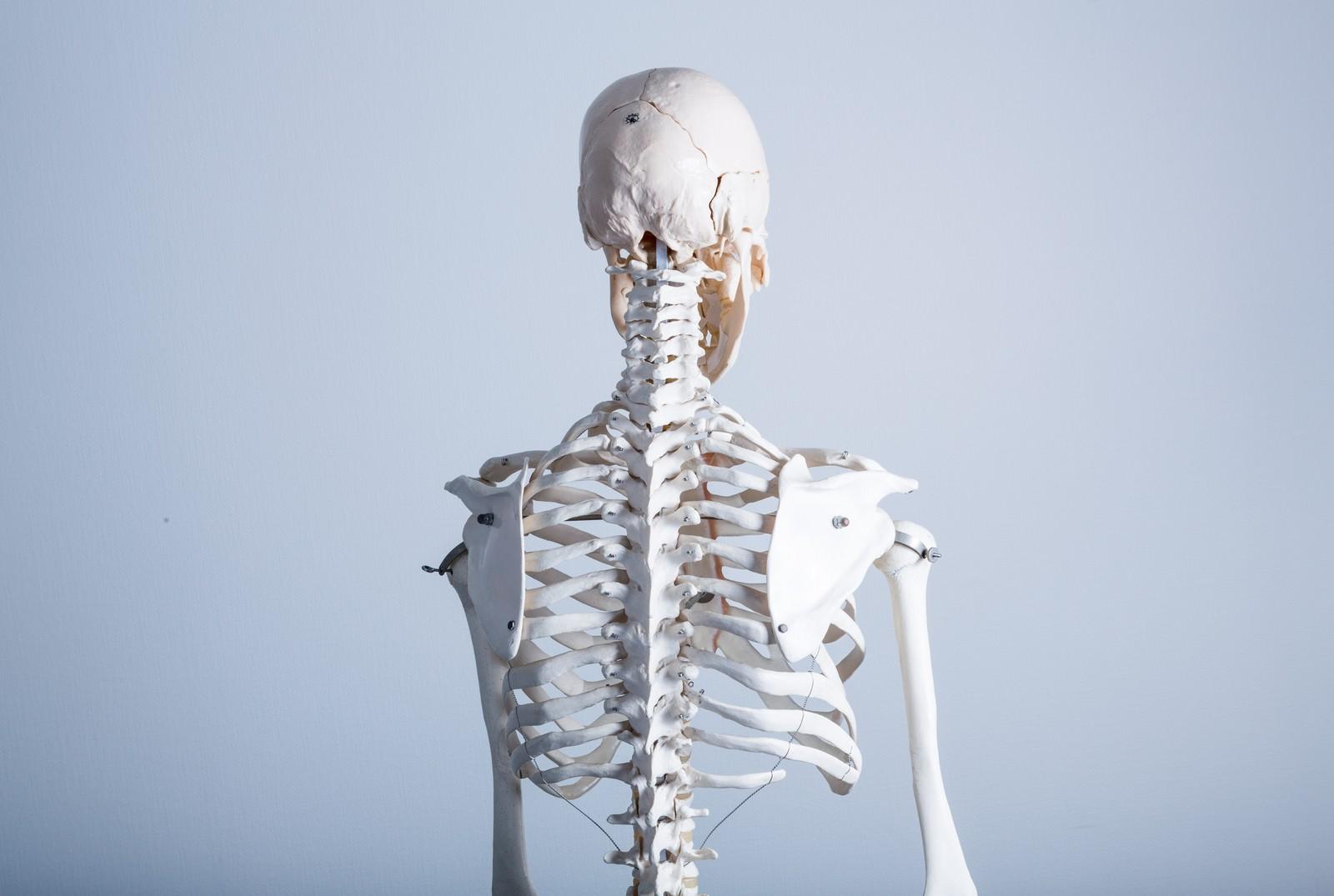 人体骨格模型(背中)|ぱくたそフリー素材