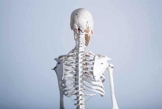 人体骨格模型(背中)の写真
