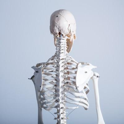 「人体骨格模型(背中)」の写真素材