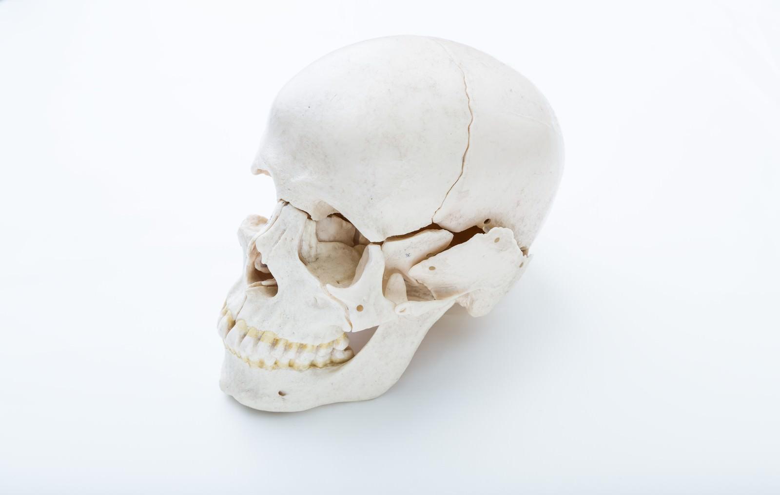 「頭蓋骨の模型」の写真