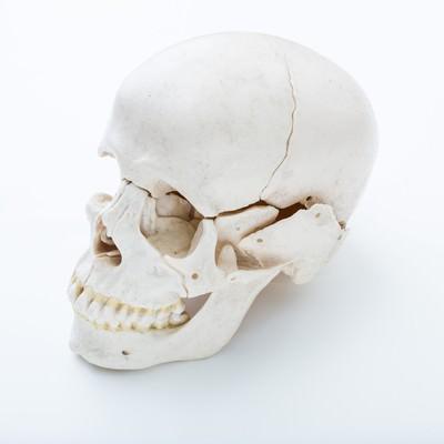 「頭蓋骨の模型」の写真素材
