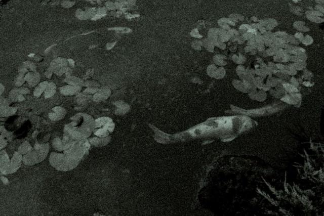 池を泳ぐ鯉の姿(ノイズ)の写真