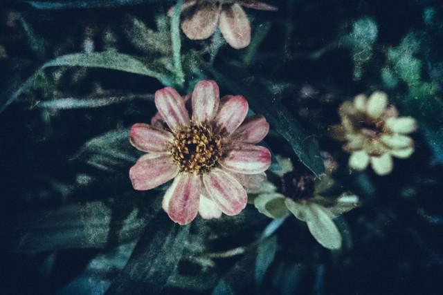 散る間際の花(フィルム写真)の写真