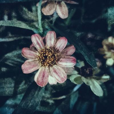 「散る間際の花(フィルム写真)」の写真素材