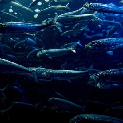「魚の群れ」の写真素材
