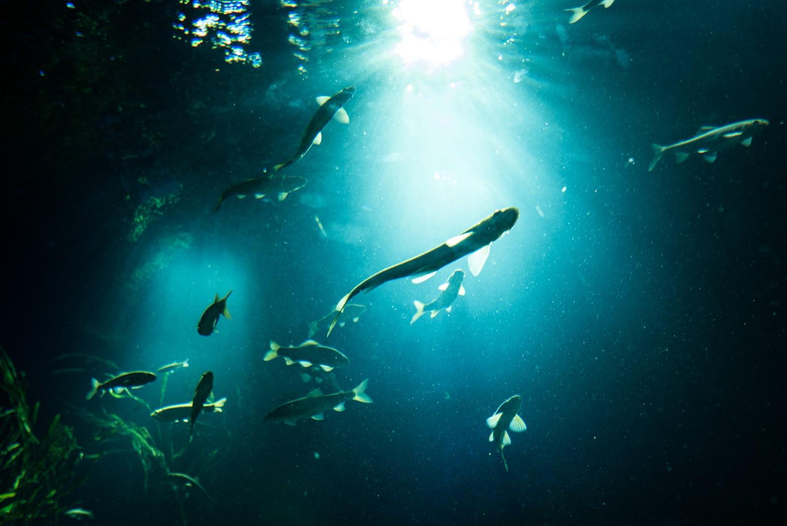 「日の光と魚のシルエット」の写真
