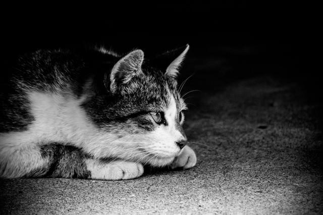 身構える猫(モノクロ)の写真