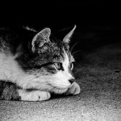 「身構える猫(モノクロ)」の写真素材