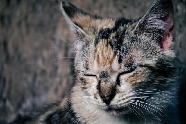 目を閉じるブチネコの写真