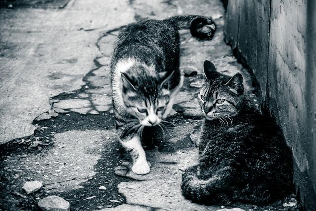 地元の強者に道をゆずるネコの写真