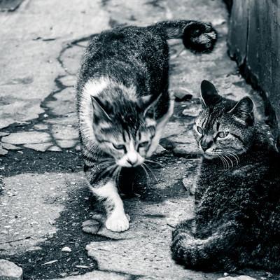 「地元の強者に道をゆずるネコ」の写真素材