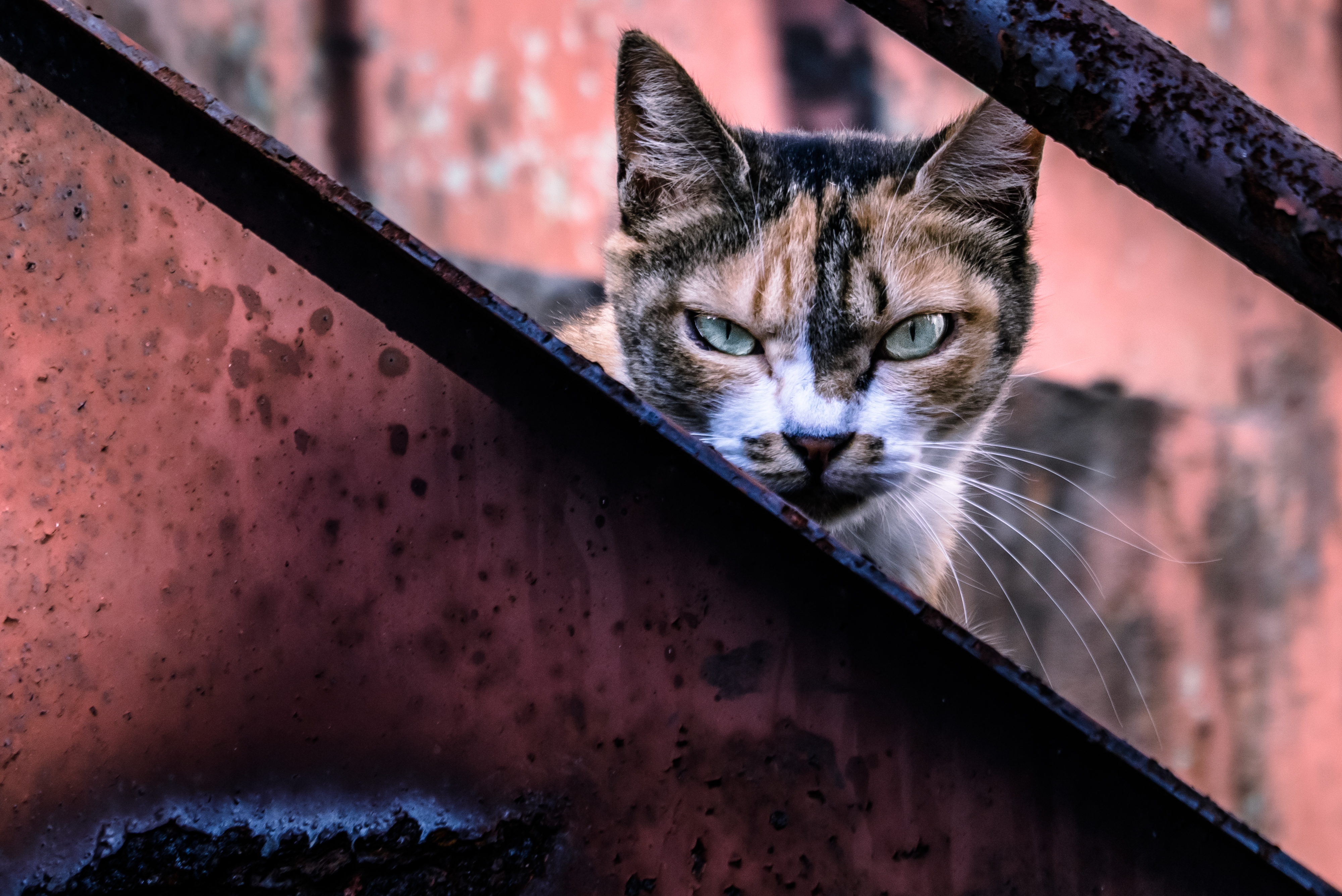 こちらを睨み威嚇する猫