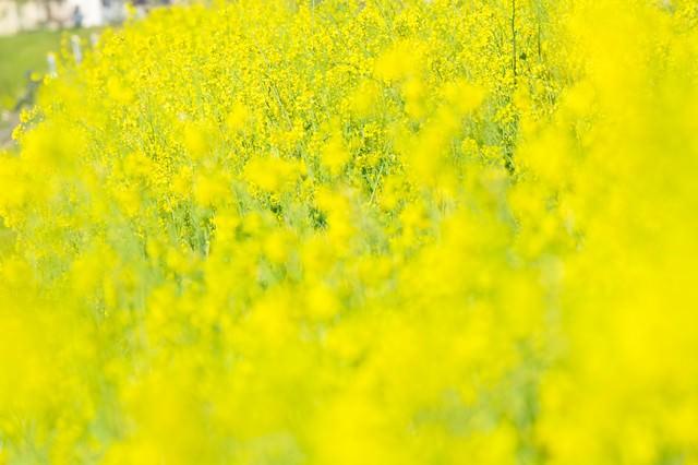 黄色い満開な菜の花の写真