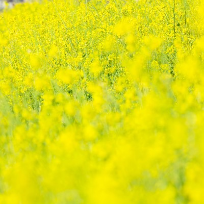 「黄色い満開な菜の花」の写真素材