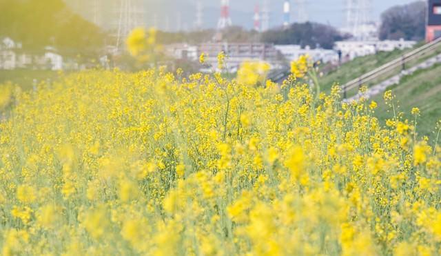 河川敷の菜の花の写真