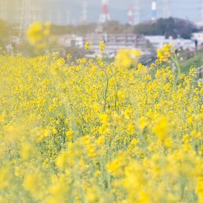 「河川敷の菜の花」の写真素材