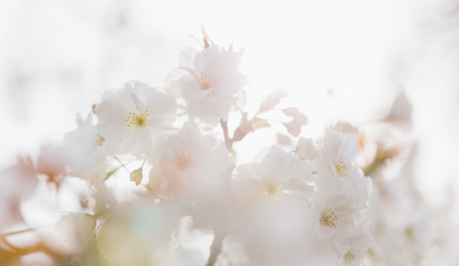 「桜、春の訪れ」の写真