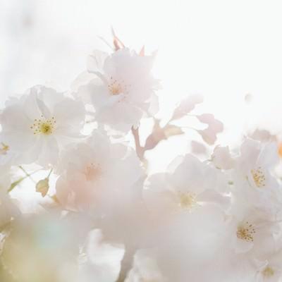 桜、春の訪れの写真