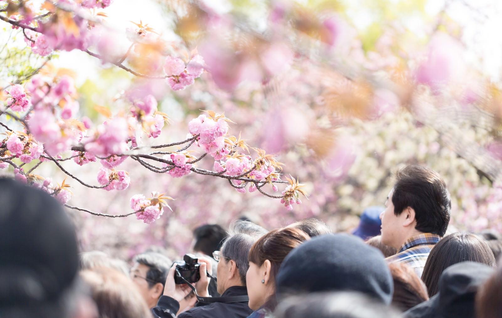 「花見に訪れた観光客」の写真