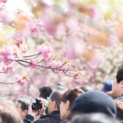 「花見に訪れた観光客」の写真素材