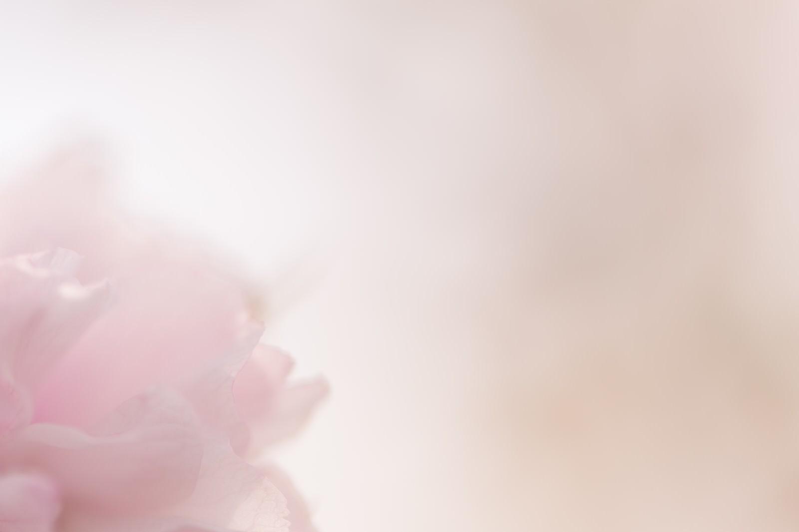 「春の柔らかい光と桜」の写真