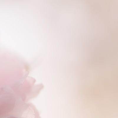 春の柔らかい光と桜の写真