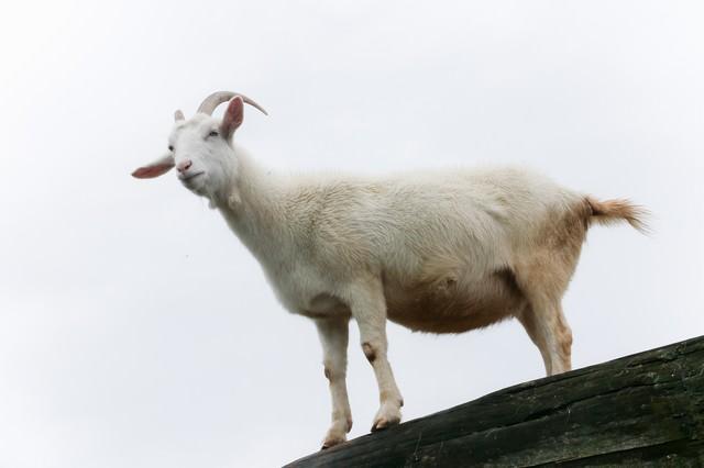 高台の山羊の写真