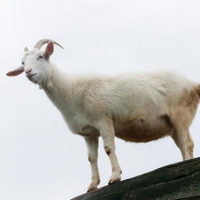 「高台の山羊」の写真素材