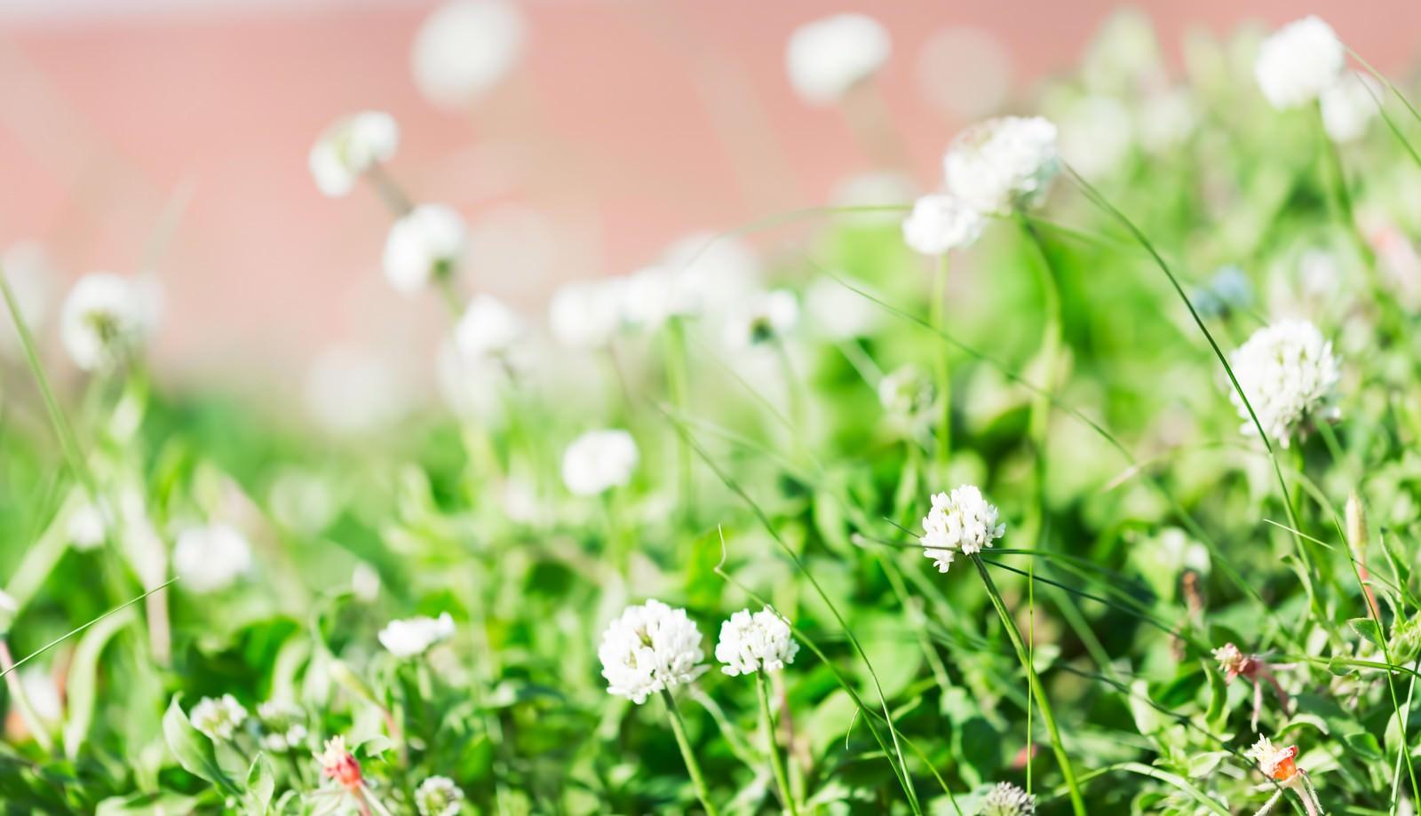 「シロツメクサの花言葉は「復讐」」の写真
