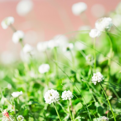 「シロツメクサの花言葉は「復讐」」の写真素材