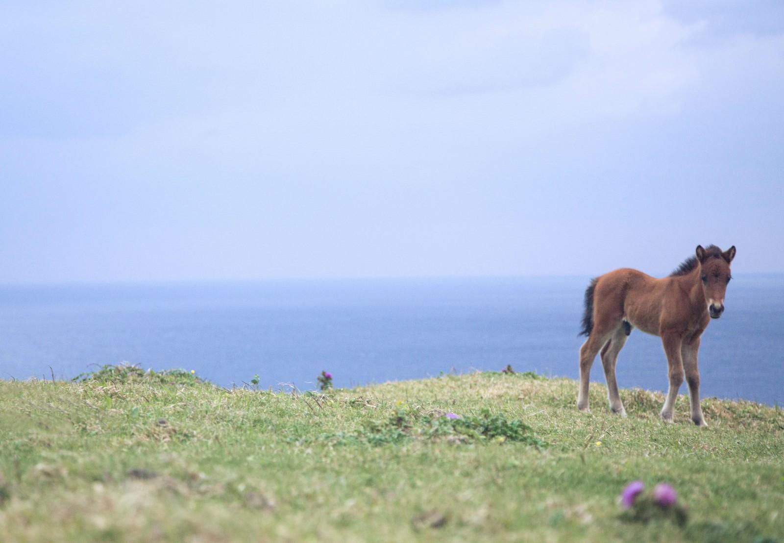 「与那国島でのびのび生きる子馬」の写真